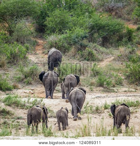 Specie Loxodonta africana family of Elephantidae, herd of african bush elephant in the bush