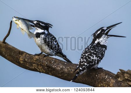 Specie Ceryle rudis family of Alcedinidae, pied kingfisher eating a fish in Kruger park, South Africa