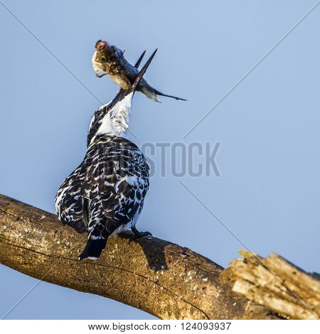 Specie Ceryle rudis family of Alcedinidae, pied kingfisher eating a fish in Kruger park, South Africa ** Note: Shallow depth of field