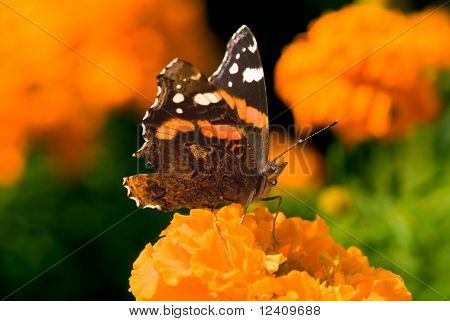 Red Admiral butterfly (Vanessa Atalanta) at the Calendulas flower-bed