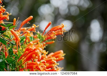Orange trumpet Flame flower Fire-cracker vine flowers with bokeh background (selected focus) ** Note: Shallow depth of field