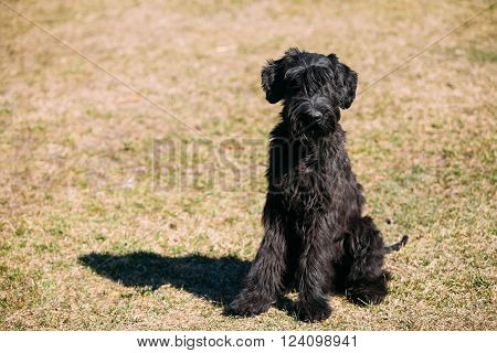 Black Giant Schnauzer or Riesenschnauzer dog sit outdoor