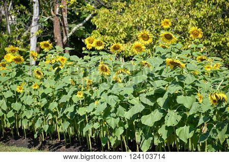 beautiful sunflower in nature garden - Helianthus annuus