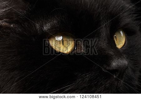 Closeup Yellow Eyes of Black Cat Snout on Black Background