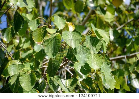 close up fresh green ficus religiosa leaves in garden