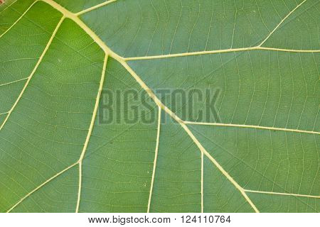 leaf texture. beautiful of green leaf macro with copy space for text or image.