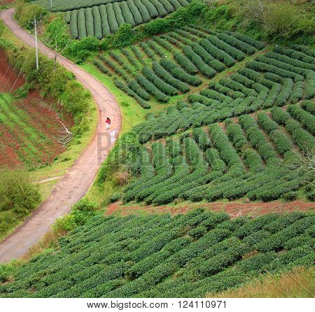 Lonely People, Way, Walk, Tea Field, Dalat