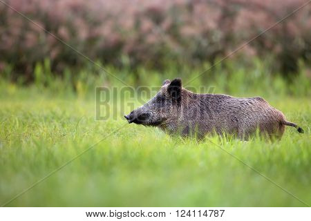 Wild boar in the grass in the wild