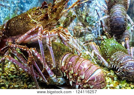 Great lobsters alive in a restaurant aquarium ** Note: Visible grain at 100%, best at smaller sizes