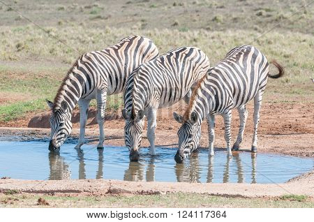 three burchells zebras, equus quagga burchellii, drinking water