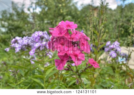 Phlox, polemoniaceae flower of garden and dacha.