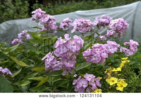 Phlox, polemoniaceae flower of garden and dacha. ** Note: Shallow depth of field