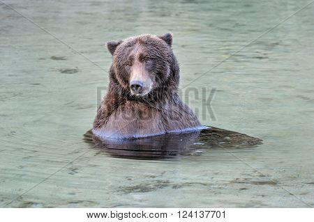 Grizzly Bear relaxing in water looking around