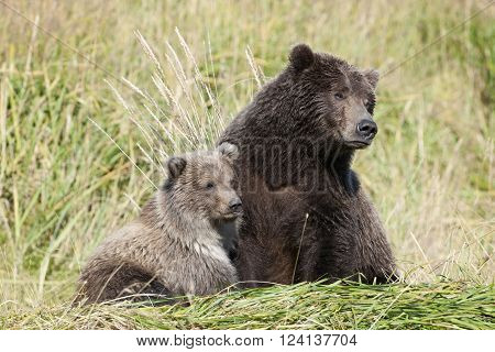 Grizzly Bear mother with cub together on river bank