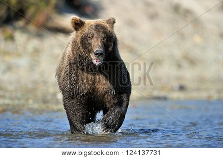 Grizzly Bear fishing in river, running towards camera