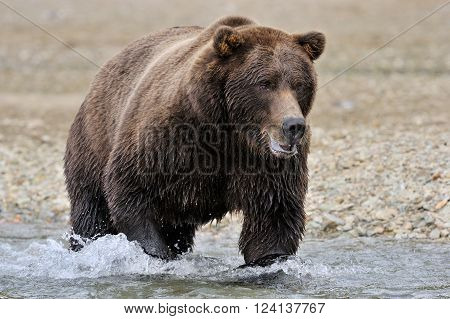 Grizzly Bear walking in river catching salmon.