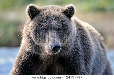 Portrait of a Grizzly Bear looking at camera