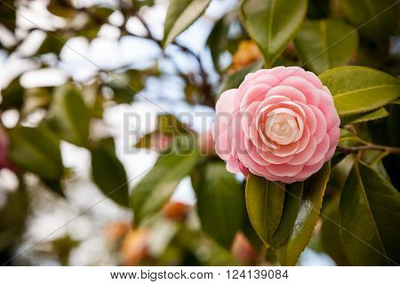 Bright pink Japanese camellia flower in bloom.