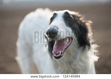 Portrait of russian wolfhound dog outdoor. Mouth open.