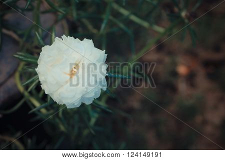 Beautiful White Moss-rose Flower