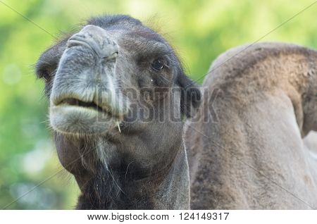 Arabian Dromedary camel resting in a tree shade