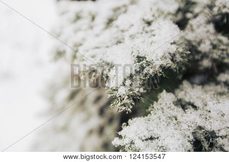 Snowfall and rime on spruce closeup background, copy space