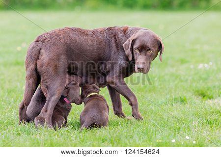 Female Labrador Retriever Dog With Puppies