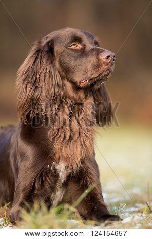 Purebred Pointer Dog