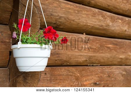 Red flower petunia in a white pot hanging on the old wooden wall