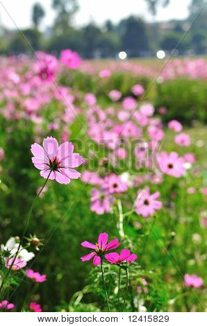 Cosmos Pink Flower Family Compositae