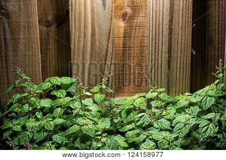 A large lush green patchouli (Pogostemon cablin) plant with small red flowers against a wooden fence.