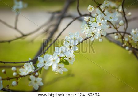 Spring in the park. Branch of blossoming apple tree on the back of the green benches. Branch of apple blossom with buds