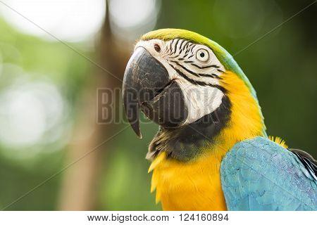 Close up of Blue and Gold macaw in natural setting near Iguazu Falls, Foz do Iguacu, Brazil.
