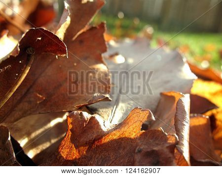 Pile of bronze autumn leaves from a callery pear tree