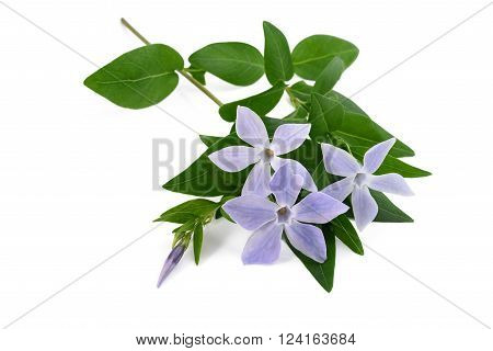 periwinkle flowers isolated on a white background