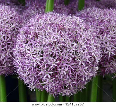 Purple Alium Specimen Bloom at Flower Show ** Note: Soft Focus at 100%, best at smaller sizes