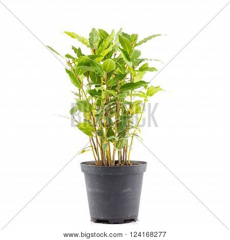 Small Laurel Tree In Flower Pot