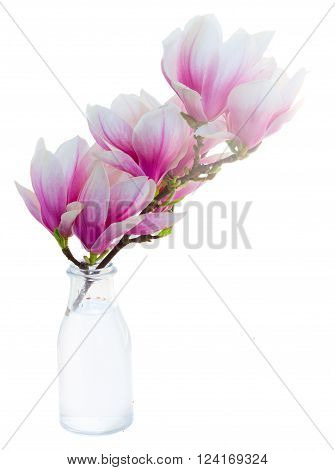twig with fresh  pink magnolia  buds flowers in vase isolated on white background