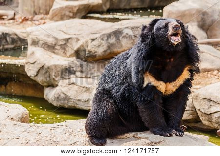 asiatic black bear near the pool  And timber