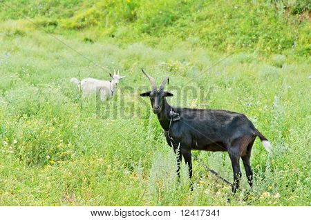 Two Goats (black And White)