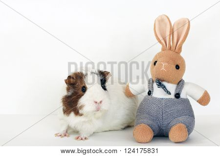 Guinea pig with rabbit, spring mood and white background
