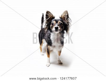 photo of toy terrier dog with her head up standing isolated on white background