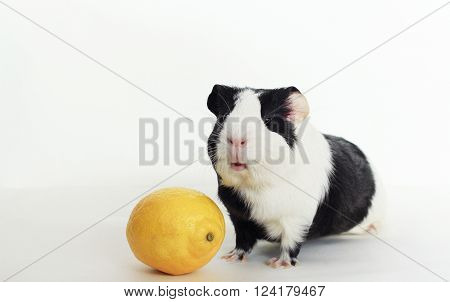 Guinea pig on white background with lemon