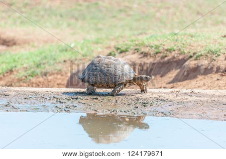 A Leopard tortoise Stigmochelys pardalis walking next to water