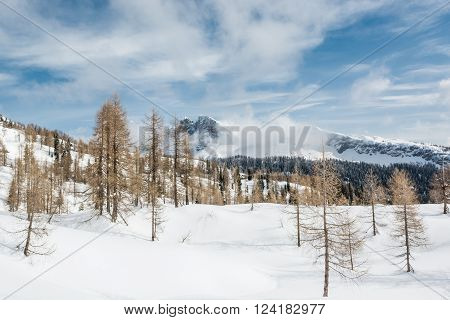 Larch forest in the winter. Seasonal photo at Komna, Slovenia.