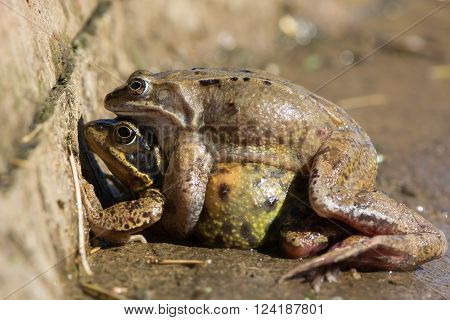 A male frog remains on top of his female after the frogs leave the water of a duck pond
