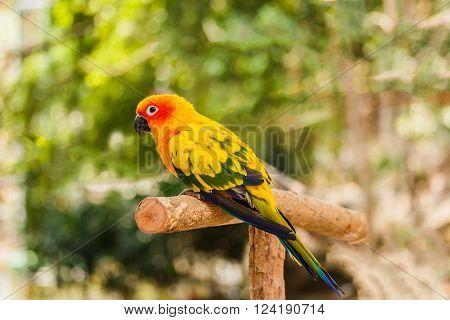 Sun Conure parrot sits perched on  branch.