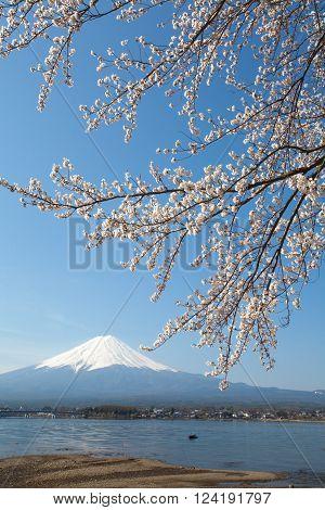 Cherry blossom sakura and mountain fuji at lake kawaguchiko