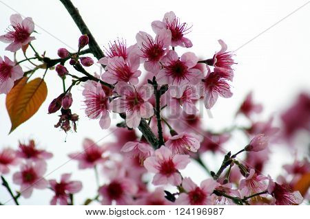 Thai sakura in winter at Phu Lomloh Loi Province Thailand. ** Note: Soft Focus at 100%, best at smaller sizes