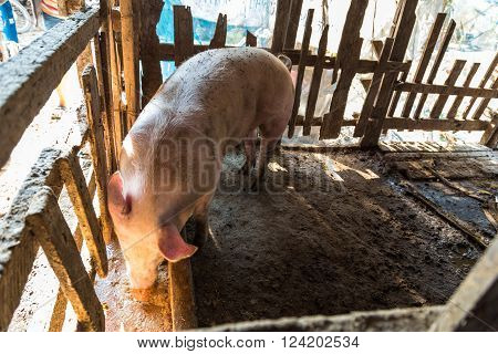 Curious Pig On Wooden Stall